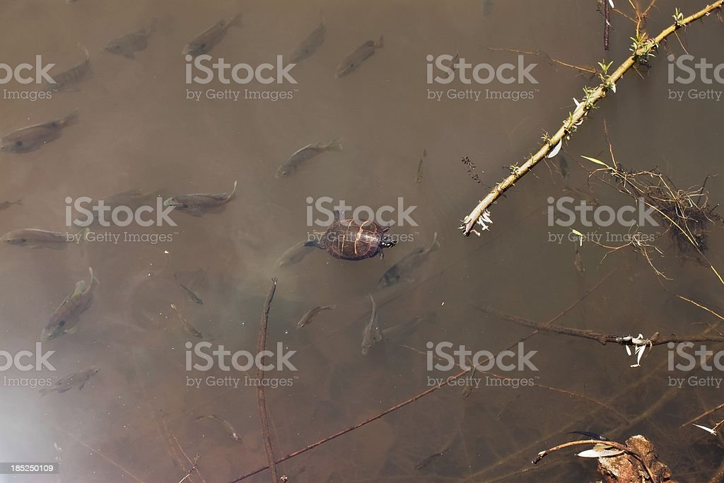 baby fish and turtle at the shore of a lake stock photo