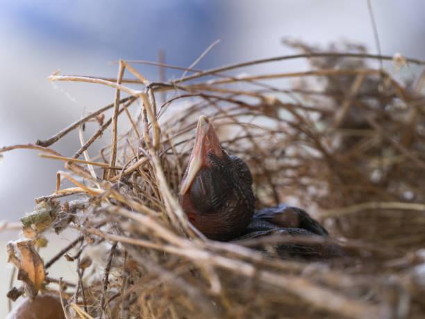 flapper babyvogel schlafen im nest - die wilden 20er stock-fotos und bilder