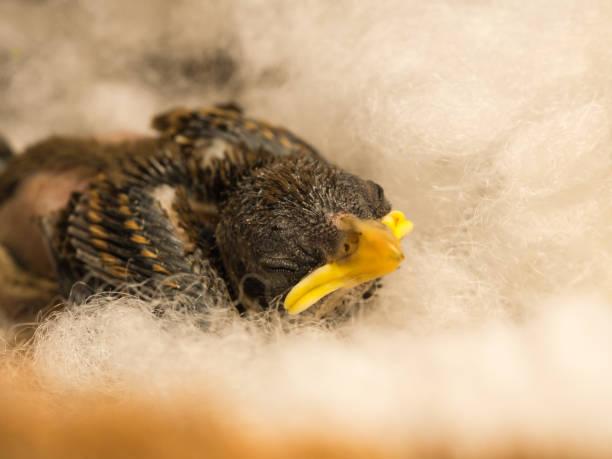 flapper babyvogel schlafen - die wilden 20er stock-fotos und bilder