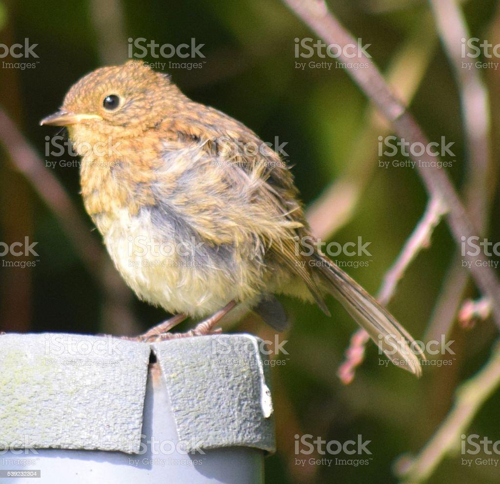 Bebé joven robin acercamiento joven lindo aves foto de stock libre de derechos