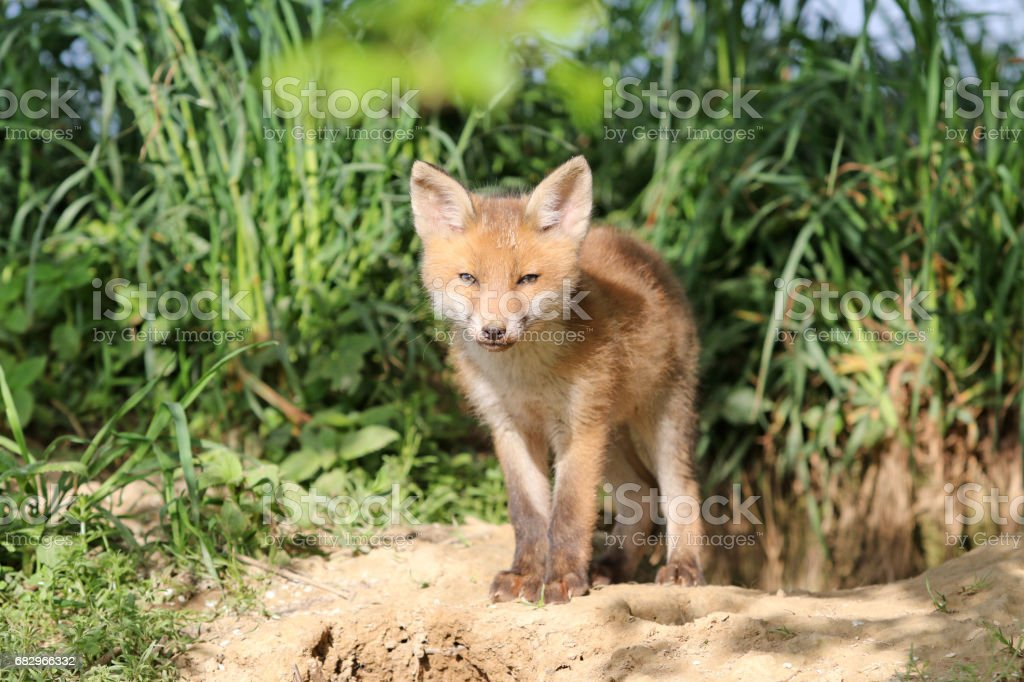 Baby Fox In The Springtime royalty-free stock photo