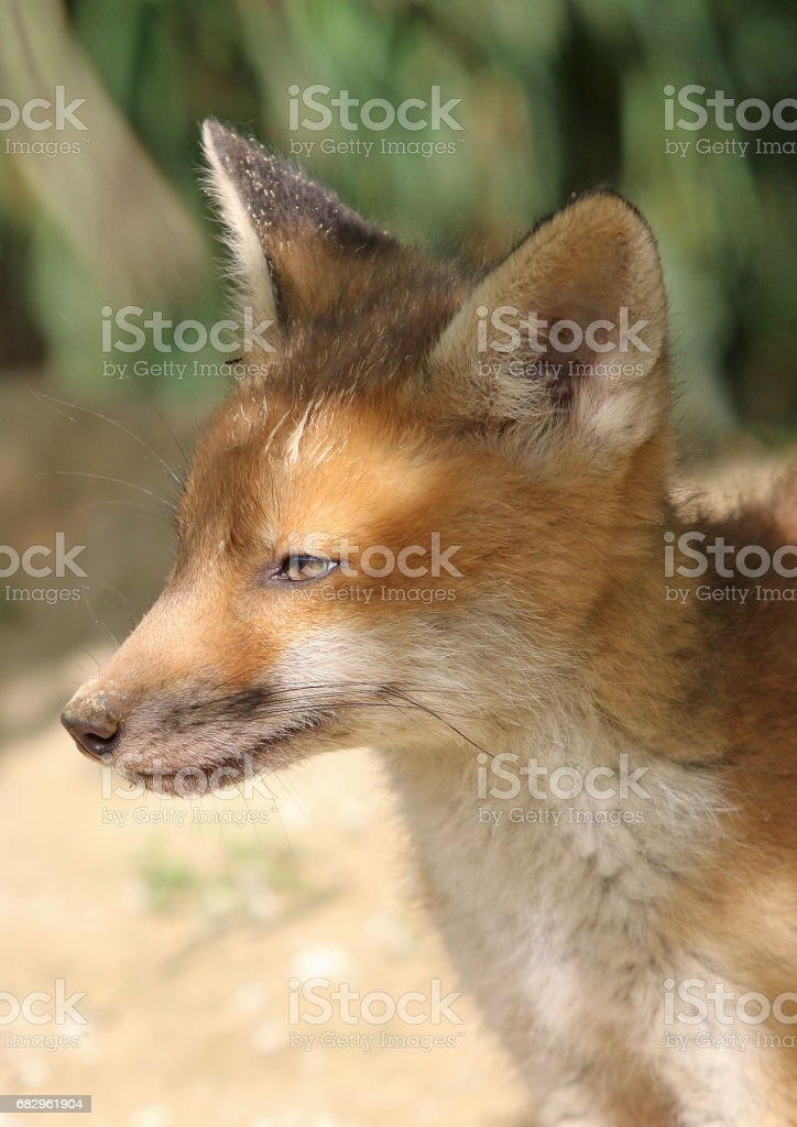 Baby Foxes In The Springtime royalty-free stock photo
