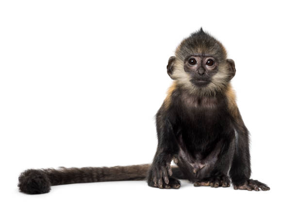 baby francois langur (4 months) - monkey stock photos and pictures