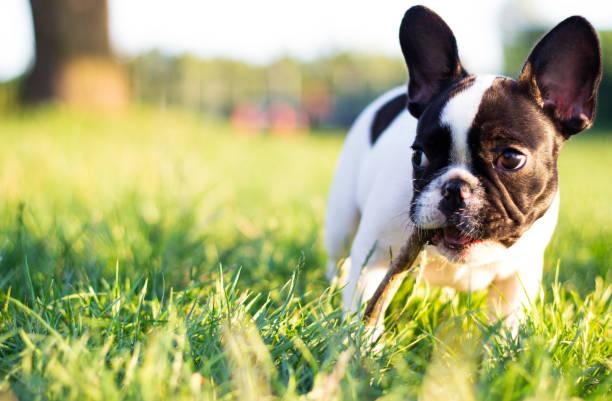 Baby French Bulldog dog stock photo