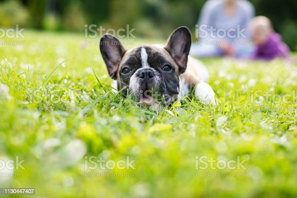 Baby french bulldog picture id1130447407?b=1&k=6&m=1130447407&s=612x612&h=lcy7i2qxlvkjlpc06emna cz3s90kulogdhzb prwmm=