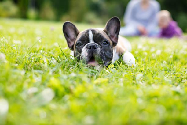 Baby French Bulldog stock photo