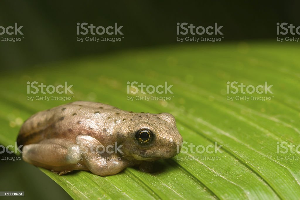 Baby Frog royalty-free stock photo
