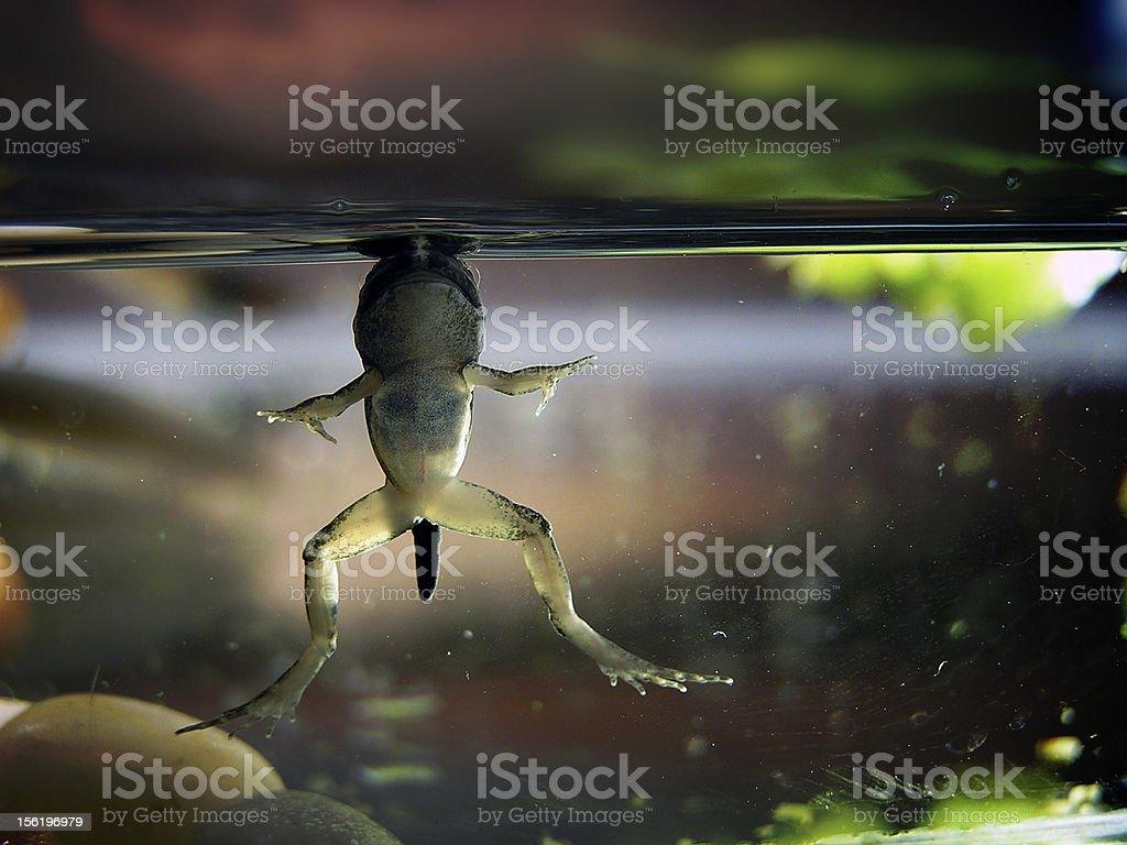 Baby Frog's Breath royalty-free stock photo