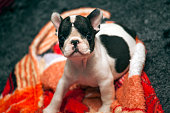 Baby funny french bulldog