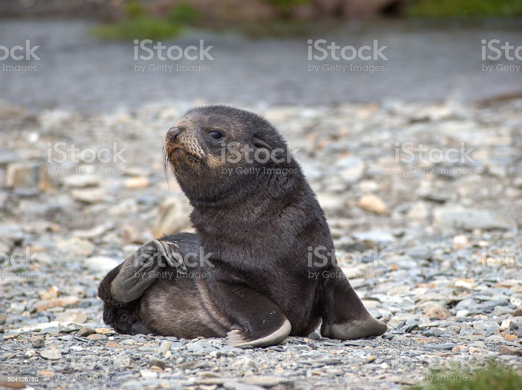 Baby fur seal in South Georgia Antarctica stock photo