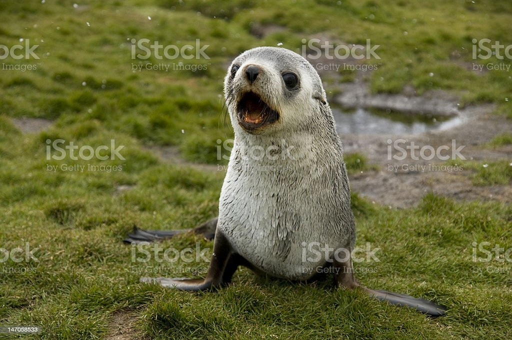 Baby fur seal in the snow stock photo