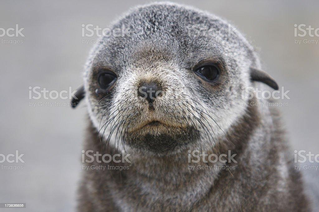 Baby fur seal stock photo