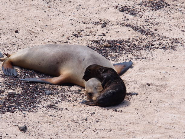 Baby Galapagos sea lion cuddles with mother on the beach stock photo
