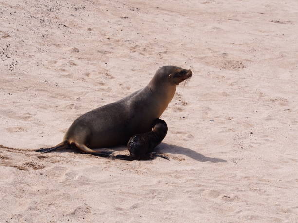 Baby galapagos sea lion drinks milk from sea lion mother stock photo