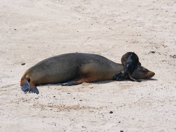 Baby Galapagos Sea lion on top of sea lion mother stock photo