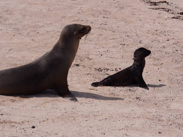 Baby Galapagos sea lion walks with sea lion mother on the beach stock photo
