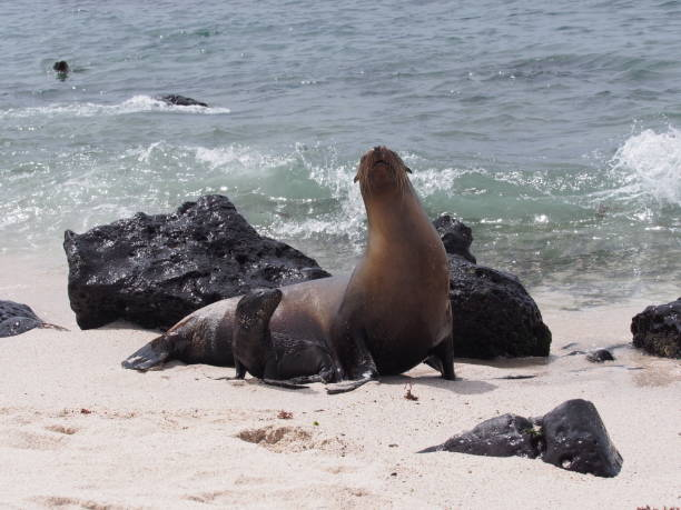 Baby Galapagos sea lion with mother on the beach stock photo