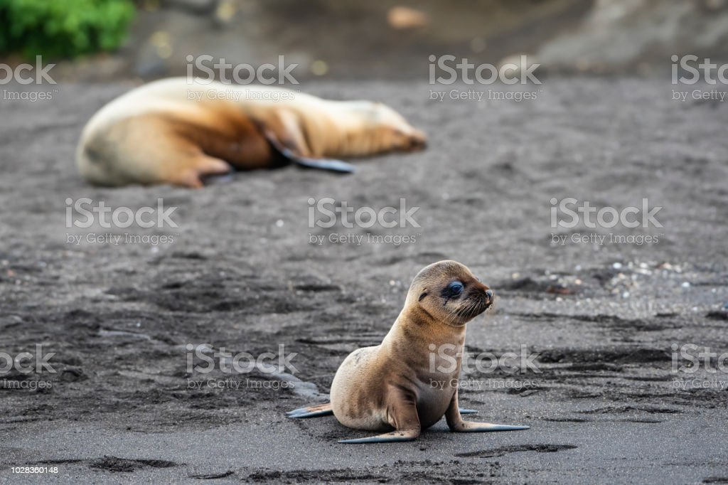 Baby Galápagos fur seal (Arctocephalus galapagoensis) at Isabella Island stock photo