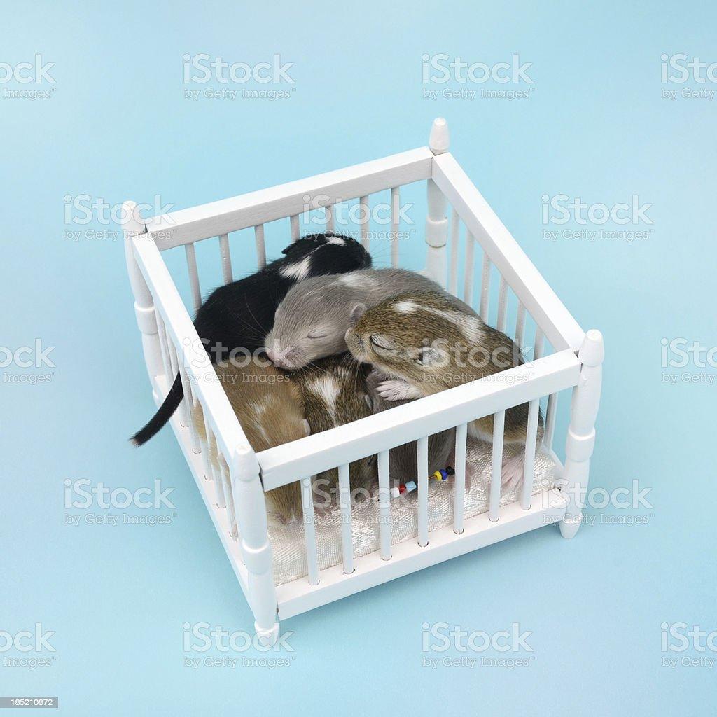 Baby Gerbils in Playpen stock photo