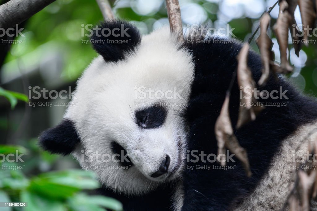 Baby Giant Panda Cub Sleeps On The Tree Between The Branches And The Leaves After Eating The Bamboo For Breakfast In Chengdu Sichuan China Stock Photo Download Image Now Istock
