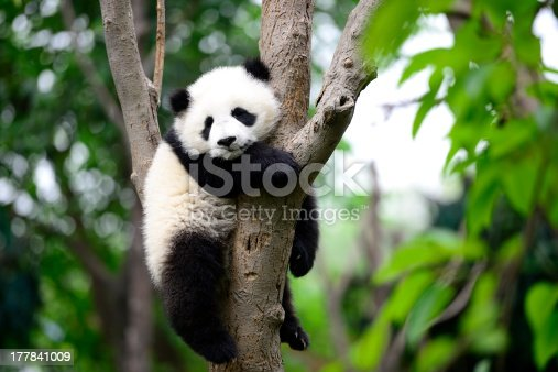 A baby giant panda on the tree, in a nature reserve, chengdu city, sichuan province in China.