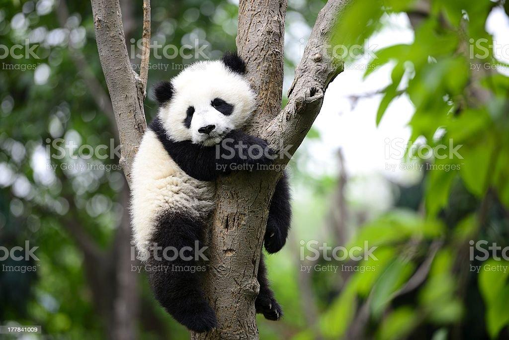 Baby giant panda on the tree stock photo