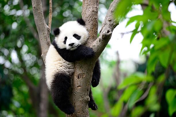 bébé panda géant sur l'arbre - panda photos et images de collection