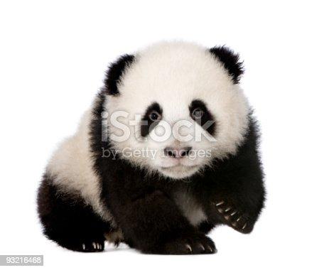 istock A baby giant pandas photo on a white background 93216468