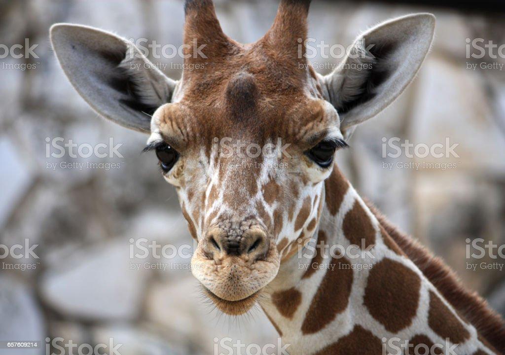 Baby Giraffe, Central Texas stock photo