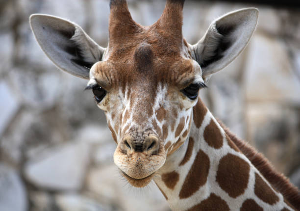 Baby Giraffe, Central Texas stock photo