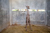Baby giraffe is giving birth on the land during the first birth.