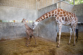 Baby giraffe is giving birth on the land. The giraffe mother is looking after her baby closely during the first birth.
