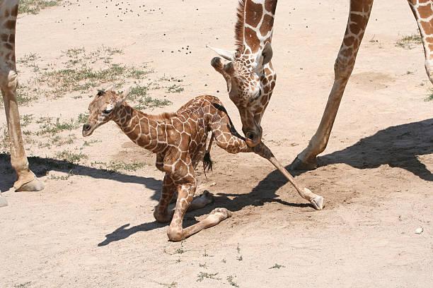 Baby giraffe learning to walk mother giraffe helps newborn giraffe get up to walk. newborn animal stock pictures, royalty-free photos & images