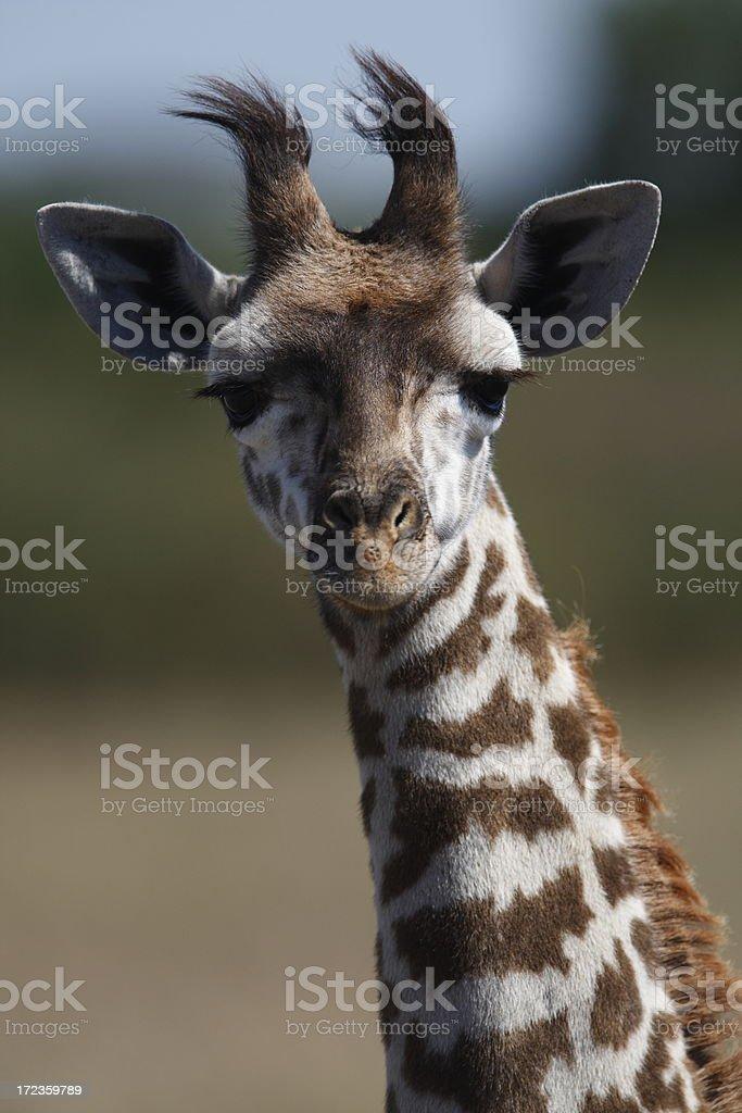 Baby Giraffe royalty-free stock photo