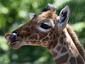 A portrait of a baby giraffe licking his lips