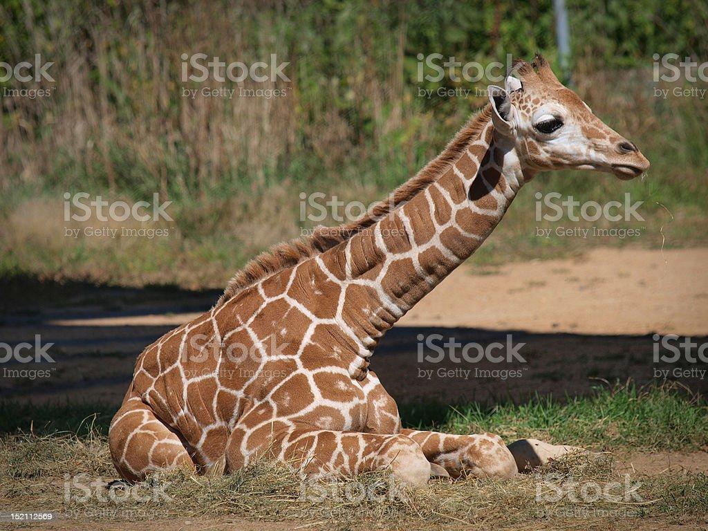 Baby Giraffe Resting stock photo