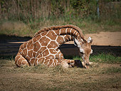 A baby giraffe laying down, nibbling on some grass.