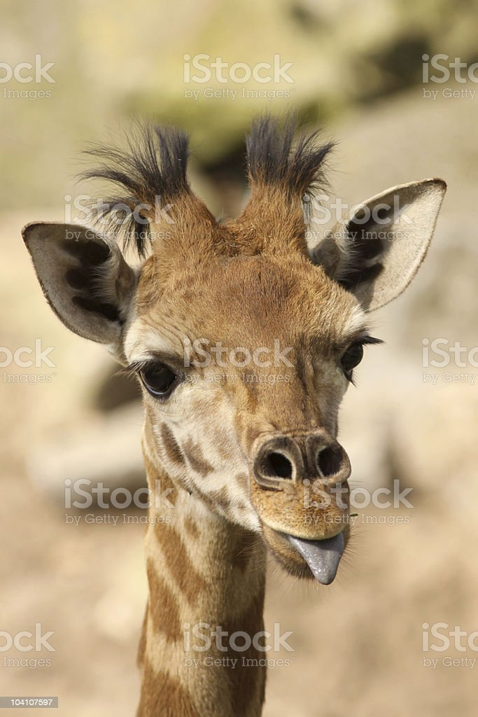 Baby giraffe sticking out its tongue stock photo