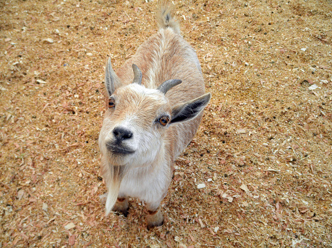 Baby Goat At Petting Zoo Stock Photo - Download Image Now