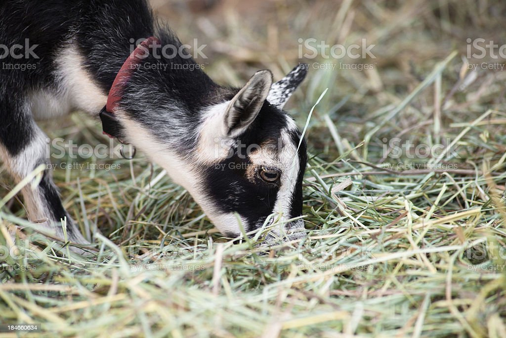 Baby Goat Eating Hay stock photo