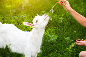 Baby goat eating willow. Woman is feeding domestic animals in the nature.