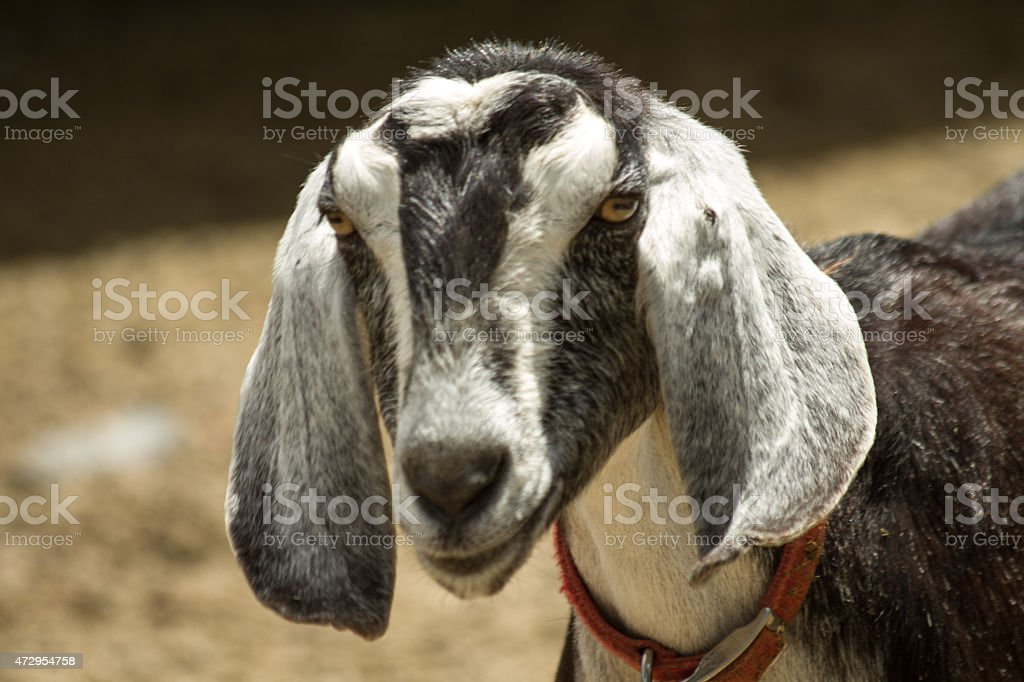 Baby Goat Face stock photo