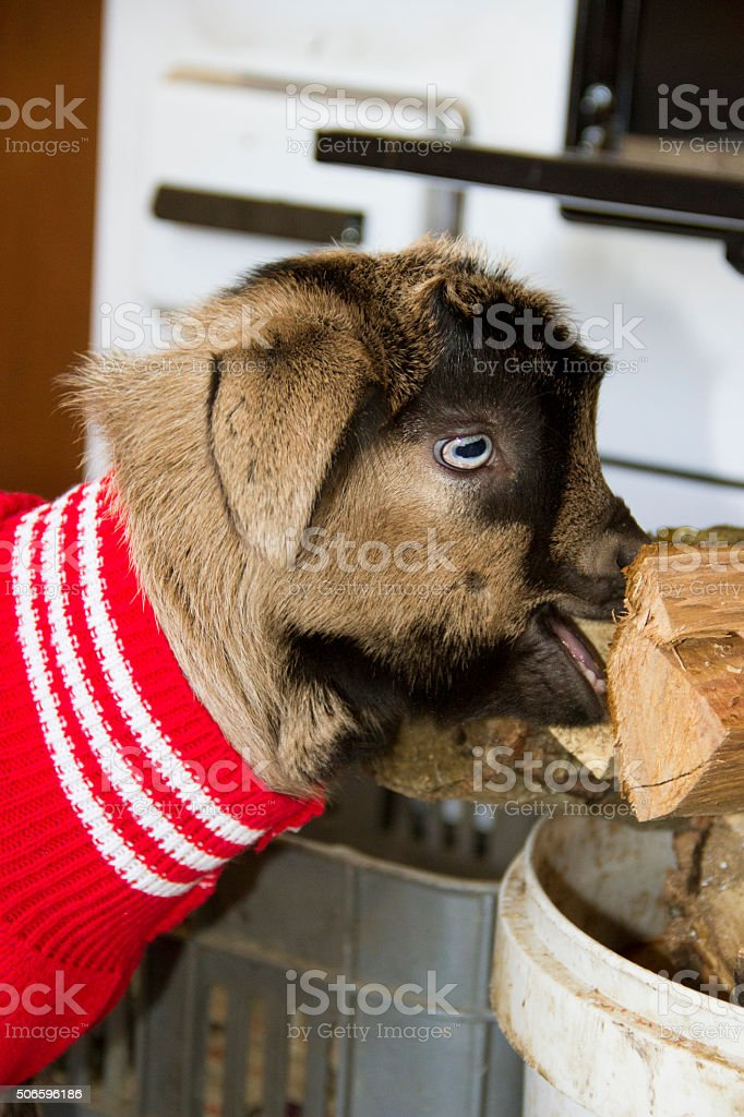 baby goat in sweater stock photo