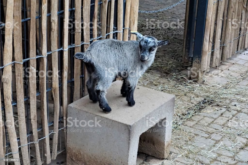 Baby goat on stone bench in front of fence stock photo