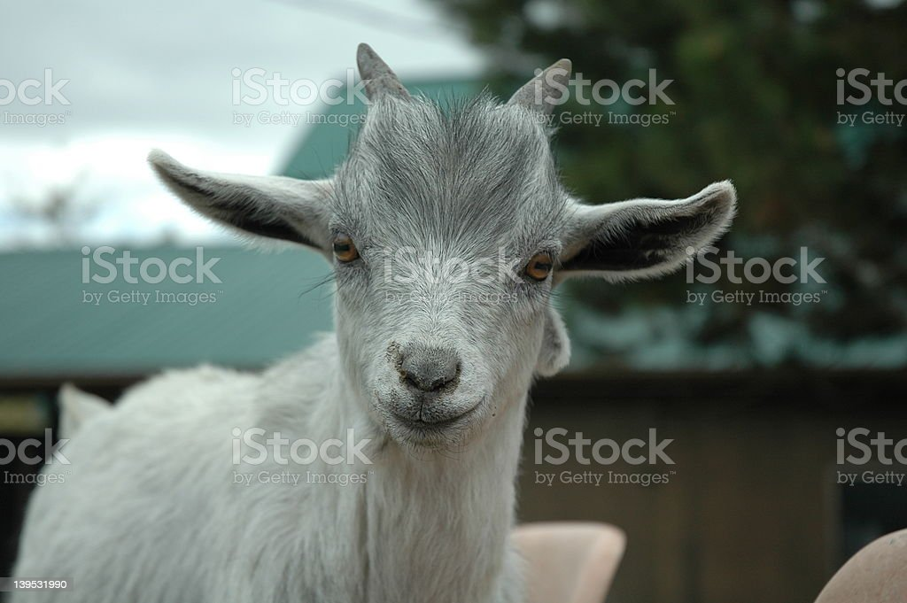 Baby Goat royalty-free stock photo