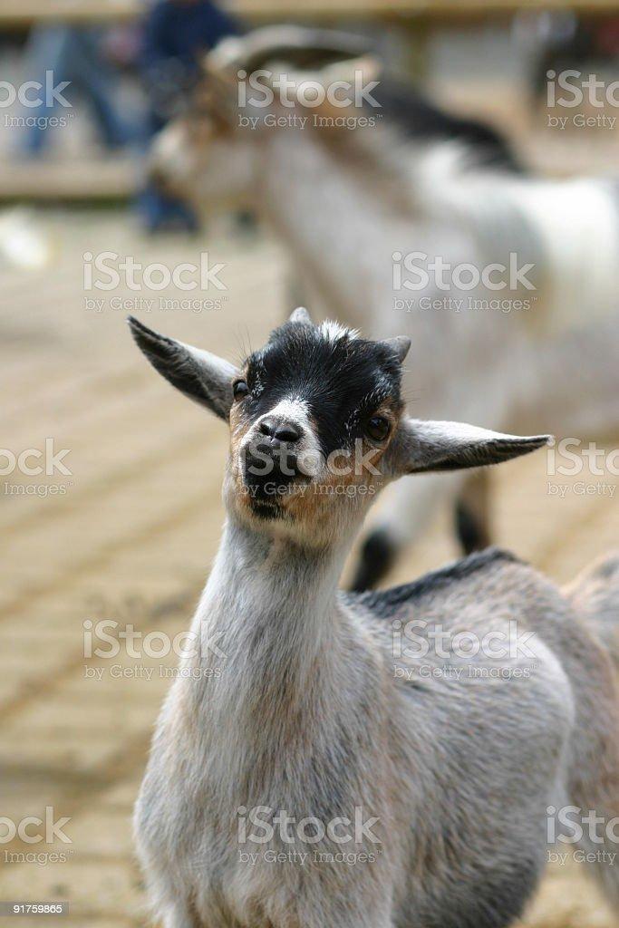 baby goat stock photo