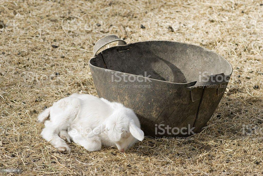 Baby Goat Sleeping stock photo