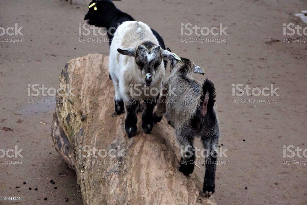 Baby goats climbing a trunk stock photo