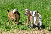 Baby goats from goat yoga taking a break in the pasture
