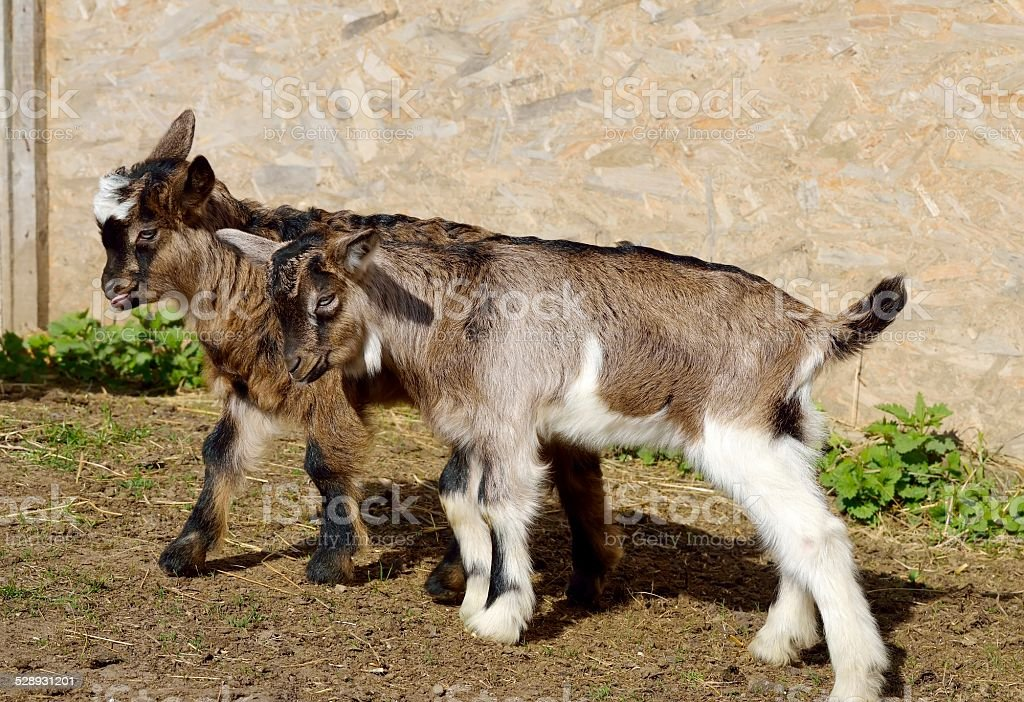 Baby goats stock photo
